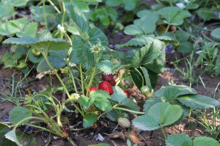 I spy a strawberry!  She also had carrots, broccoli, kale, lettuce, snow peas, eggplant, tomatoes...the list goes on & on!