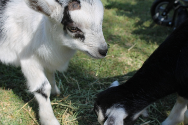 The baby goats, Sweet Pea & Moses.  They're six-week old twins!